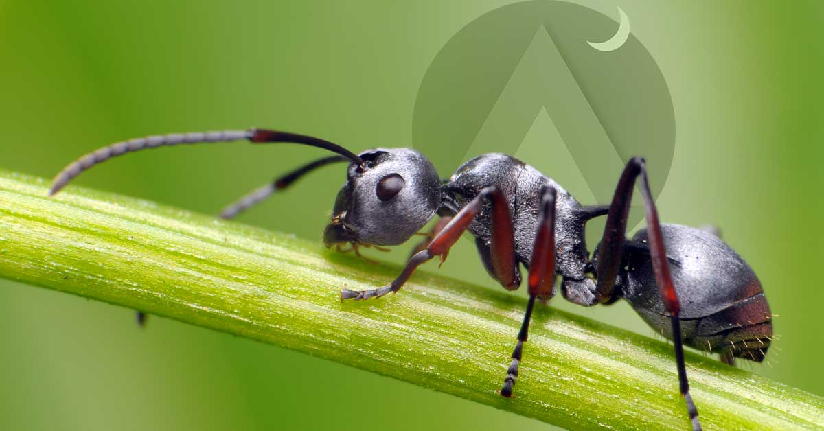 why do ants commit suicide