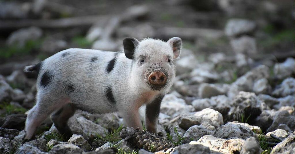 It was not something new in medieval Europe; there was around a 100 animal trial with valid cases. Here is the 13th-century pig who faced trial